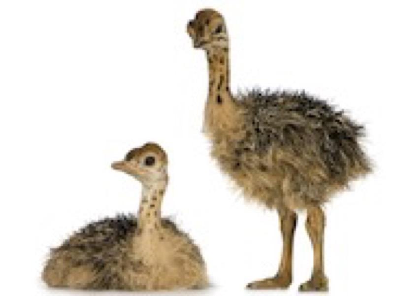 Ostrichchicks