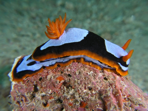 Chromodoris westraliensis nudibranch2
