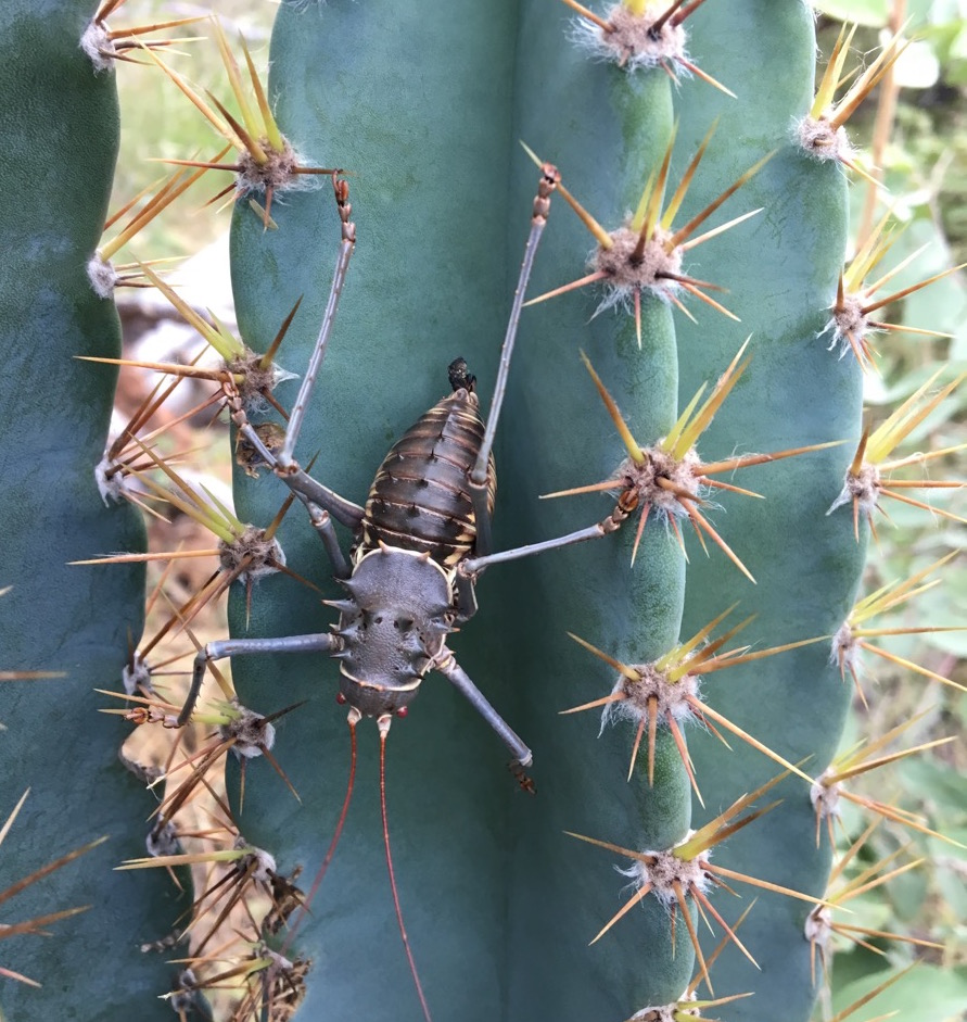 Giant beetle on cactus-1200