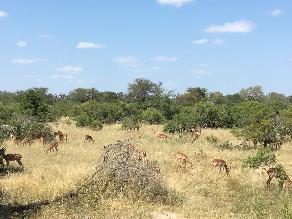 Herd of impala1-1200