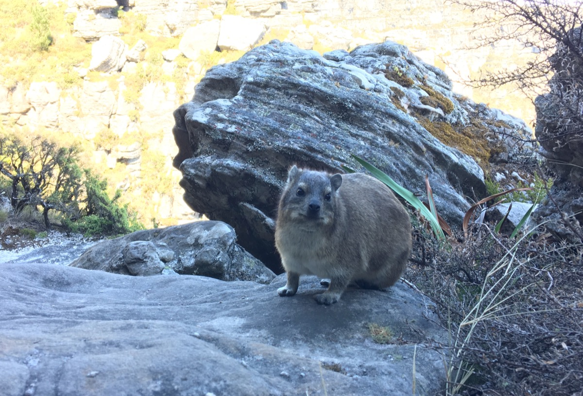 Hyrax : cappie table mountain-1200