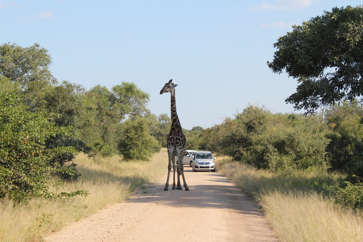 Giraffe in the road-1200