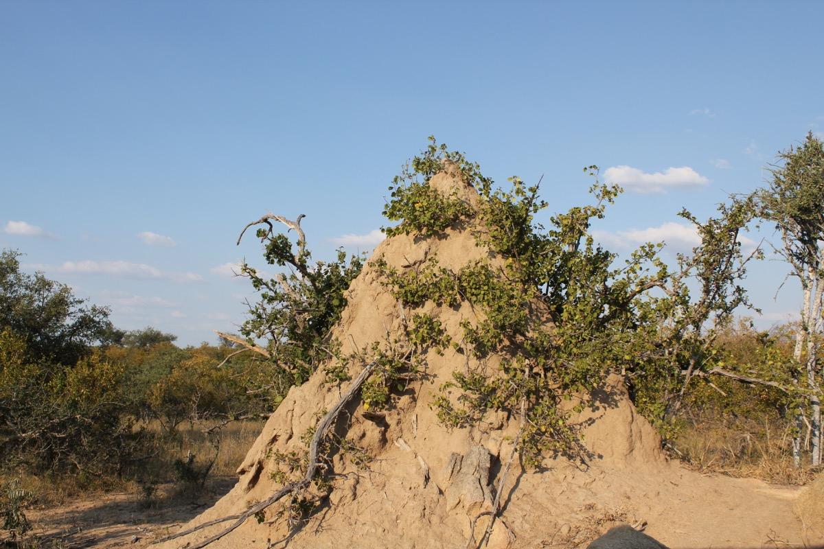 Giant termite nest-1200