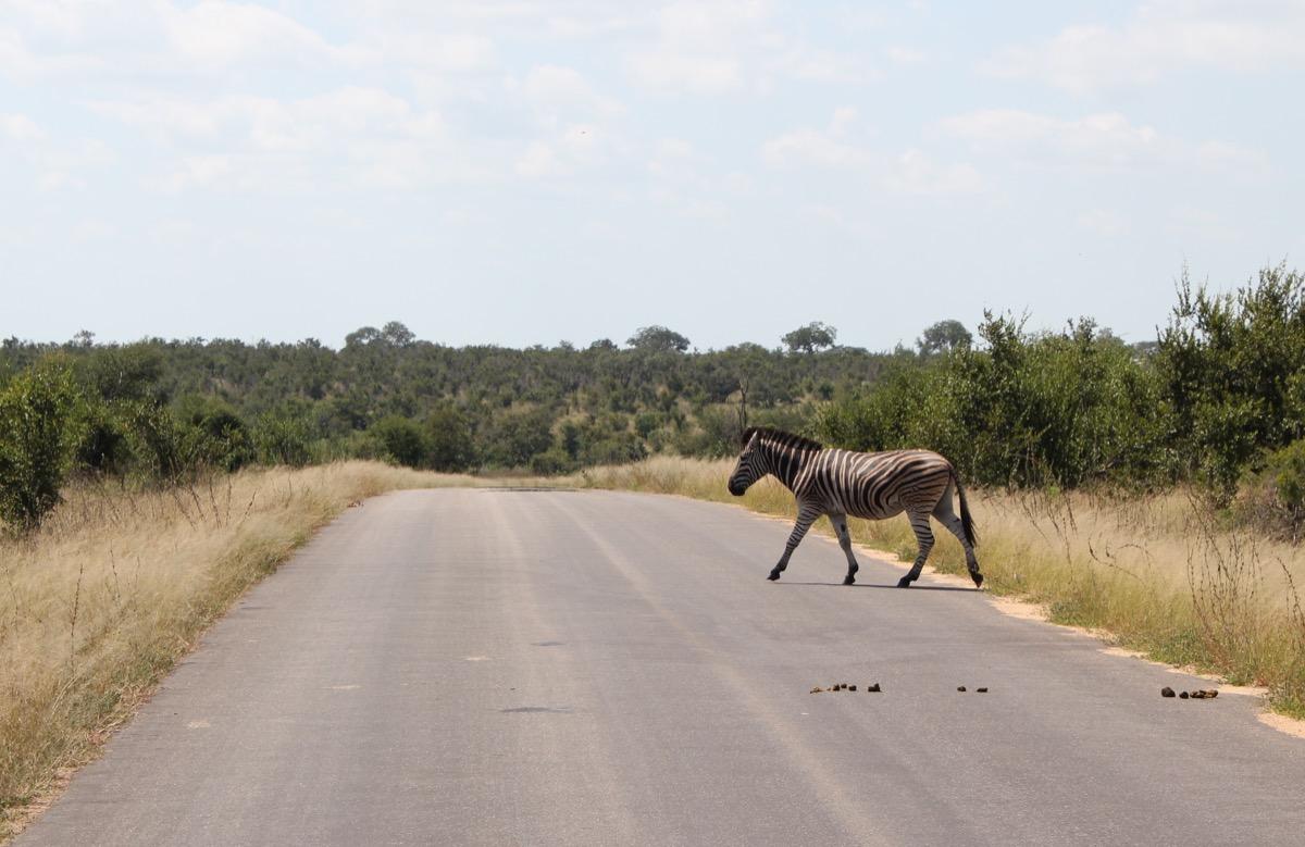 Impala herd-1200