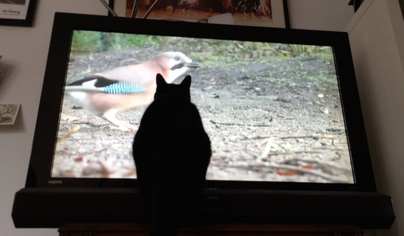 Mole watches youtube for cats